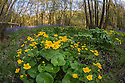 Marsh Marigold (Caltha palustris) growing in damp woodland. Peak District National Park, Derbyshire, UK. May.