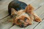 Taffy, Yorkshire Terrier