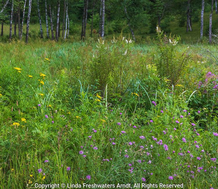 Wildflowers growing in northern Wisconsin.