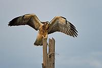 Immature Swainson's Hawk, Texas roadside