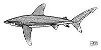 Oceanic whitetip shark, Carcharhinus longimanus, lateral view, pen and ink illustration.