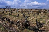 Europe/France/Midi-Pyrénées/46/Lot/Vallée du Lot/Prayssac: Clos Gamot - Ceps centenaires