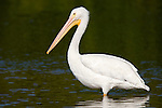 Ding Darling National Wildlife Refuge, Sanibel Island, Florida; a single American White Pelican (Pelecanus erythrorhynchos) bird in the shallow water of the refuge © Matthew Meier Photography, matthewmeierphoto.com All Rights Reserved