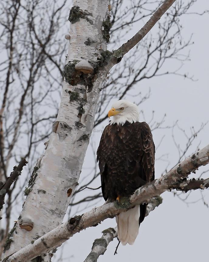 Bald Eagle sitting in a birch tree.