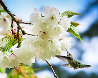 Anna's Hummingbird feeding on cherry blossoms in the Spring