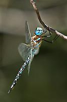 339220006 a wild male arroyo darner rhionaeschna dugesi perches on a small tree branch near a creek in scotia canyon cochise county arizona united states