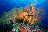 gorgonian soft coral, Subergorgia sp., on reef, Thailand, Andaman Sea, Indian Ocean