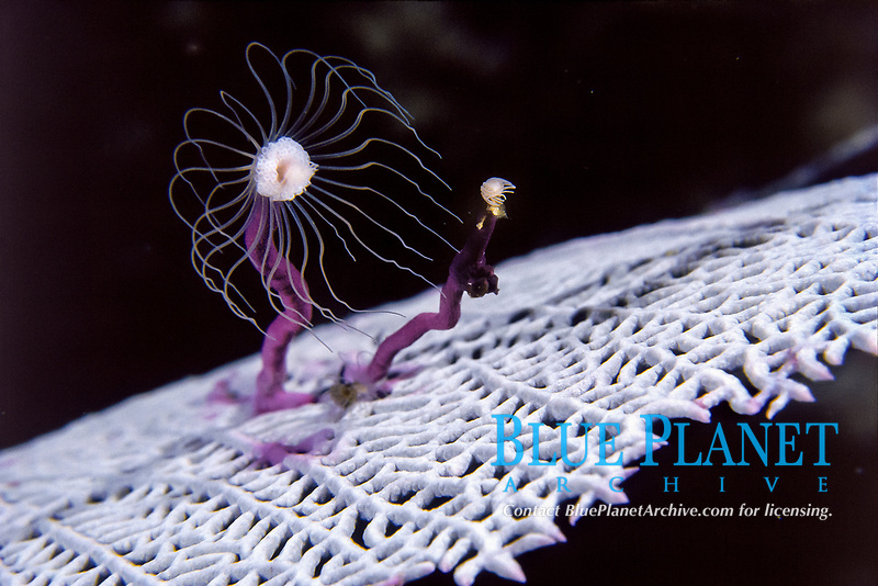 tube dwelling anemone, on fan coral, Pacific Ocean