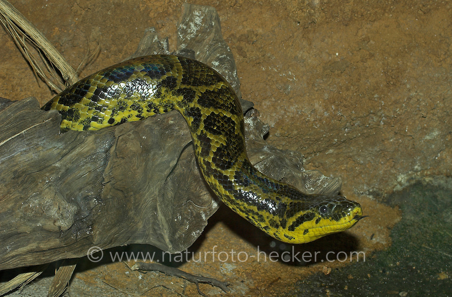 Süd-Anakonda, Gelbe Anakonda, Paraguay-Anakonda, Würgeschlange, Eunectes notaeus, yellow anaconda