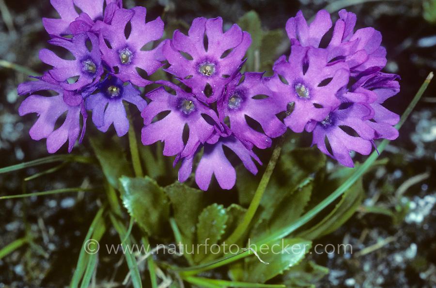 Klebrige Primel, Blauer Speik, Roter Speik, Primula glutinosa