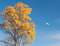 A strong wind blows the leaves from a quaking aspen, Populus tremuloides, in autumn. Hart Mountain National Antelope Refuge, in the high desert of eastern Oregon.