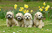 BNPS.co.uk (01202 558833)<br /> Pic: ZacharyCulpin/BNPS<br /> <br /> A new batch of Dandie Dinmont Terrier puppies. <br /> <br /> Pictured:  A new litter of Dandie Dinmont Terriers, only 87 puppies were born last year. <br /> <br /> Has this breed of dog had its day?<br /> <br /> There are fears the otterhound, Britain's rarest breed of dog, is on the verge of extinction after just seven puppies were born last year.<br /> <br /> While the coronavirus lockdowns sparked record sales of puppies like Labradors and French Bulldogs, the same can not be said for some traditional British species.<br /> <br /> Chief among them is the otterhound, one of Britain's oldest breeds that dates back to the 12th century.