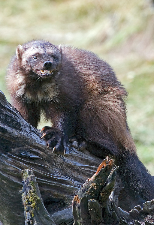 Wolverine snarling on top of a log. - CA