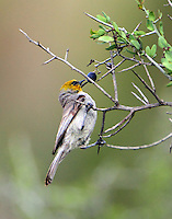 Adult male verdin pecking at berry. These birds seem never to come to a water feature so must get needed moisture from their food.