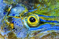 Dolphinfish, Mahi Mahi, Dorado, Coryphaena hippurus , eye close up, Florida coast, USA, Atlantic Ocean