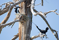 A Double-crested Cormorant, Phalacrocorax auritus, pulls loose nesting material from a neighboring nest in a dead tree on the shore of Hyatt Lake, Oregon
