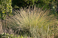 Festuca mairei (Atlas fescue) Ornamental bunch grass flowering in Colorado meadow garden of Lauren and Scott Ogden