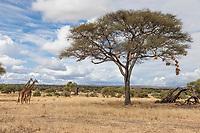 Tanzania. Tarangire National Park.  Birds Nests in Acacia Tree, Giraffes Nearby.