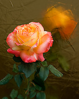 Golden Apricot and Pink Rose with reflection in a golden surface.  Morning dew has formed water beads on the petals.  Natural light photograph
