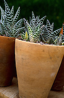 Haworthia succulents growing in terracotta pots with gravel mulch