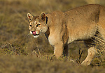 Mountain Lion (Puma concolor) female cleaning nose with tongue, Torres del Paine National Park, Patagonia, Chile
