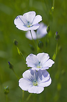 Europe/France/Haute-Normandie/76/Seine Maritime/Env Le Havre: Champ cultivé de lin en fleur