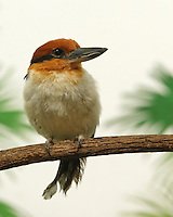 Kookaburras (genus Dacelo) are terrestrial tree kingfishers native to Australia and New Guinea.