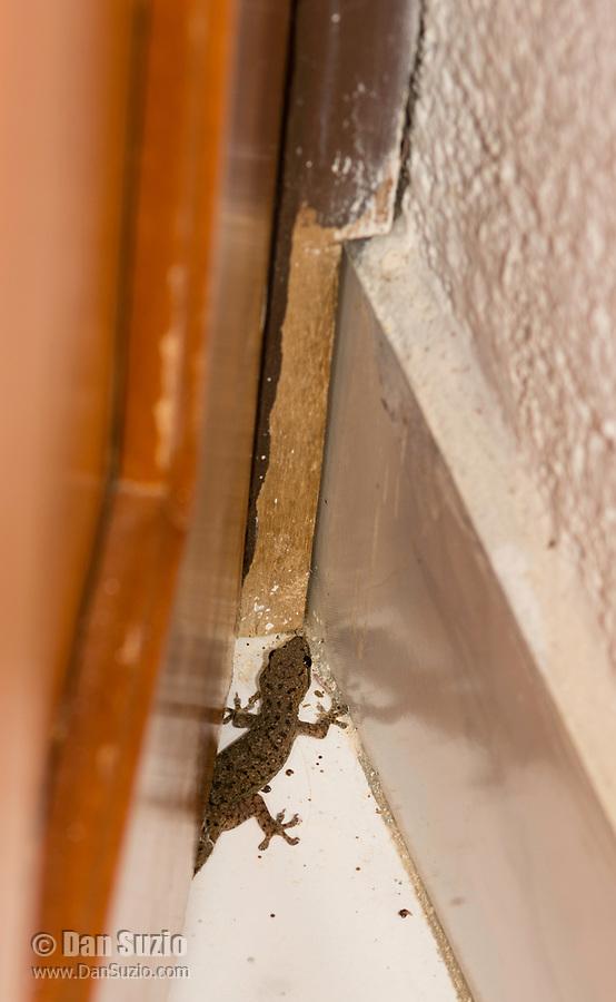 House Gecko, Hemidactylus frenatus, in a hotel room in Sarapiquí, Costa Rica