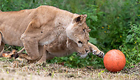 BNPS.co.uk (01202) 558833. <br /> Pic: CorinMesser/BNPS<br /> <br /> Pictured: Lionesses chase down the ball. <br /> <br /> It's Harry Mane - the pride of England.<br /> <br /> Harry the lion looks to inspire the Three Lions for their Euro 2020 quarter-final match with his impressive footballing skills.<br /> <br /> Just like England's Harry Kane, the male lion is the leader of the pride of lions at Longleat Safari Park in Wiltshire.<br /> <br /> And when keepers tossed in a football to stimulate the group, Harry was the first one onto the pitch.<br /> <br /> He showed off his athletic prowess by stretching up to a tree branch to dislodge a red and white ball with the Three Lions emblem emblazoned on it.