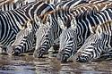 Herd of common zebra (Equus quagga) (local subspecies, Grant's zebra (Equus quagga boehmi)) drinking in seasonal water hole after heavy rain. Ngorongoro Conservation Area (NCA) / Serengeti National Park, Tanzania.