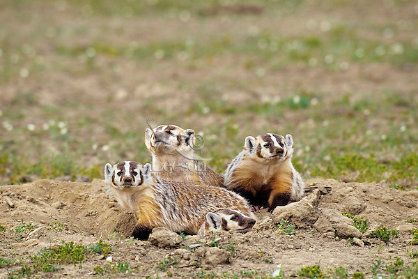 Four badger--adult with three almost fully grown cubs.  Northern Great Plains.  Summer.