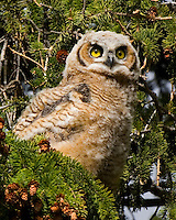 Great Horned Owl Chick at Yellowstone National Park