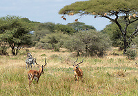 Two Common Impalas, Aepyceros melampus melampus, face off near a Grant's Zebra, Equus quagga boehmi,  in Tarangire National Park, Tanzania.
