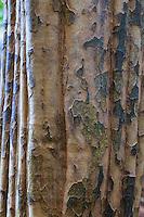 France, Allier (03), Villeneuve-sur-Allier, Arboretum de Balaine en automne, tronc de cognassier de Chine (Pseudocydonia sinensis)