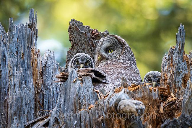 Great Gray Owl (Strix nebulosa) nest. Jackson County, Oregon.