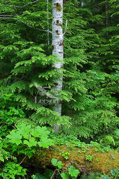 Olympic National Park, Washington.  Forest with red alder tree, hemlock boughs and devil's club (large leaves in bottom left).  Near Heart of the Hills Campground.