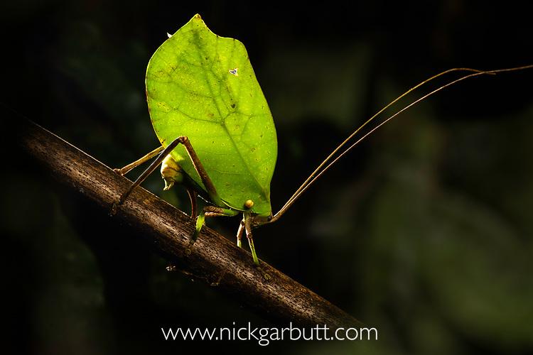 Female leaf-mimic bush cricket or katydid (unknown species) (Tettigoniidae ) laying its eggs in a branch. Manu Biosphere Reserve, lowland Amazon rainforest, Peru.