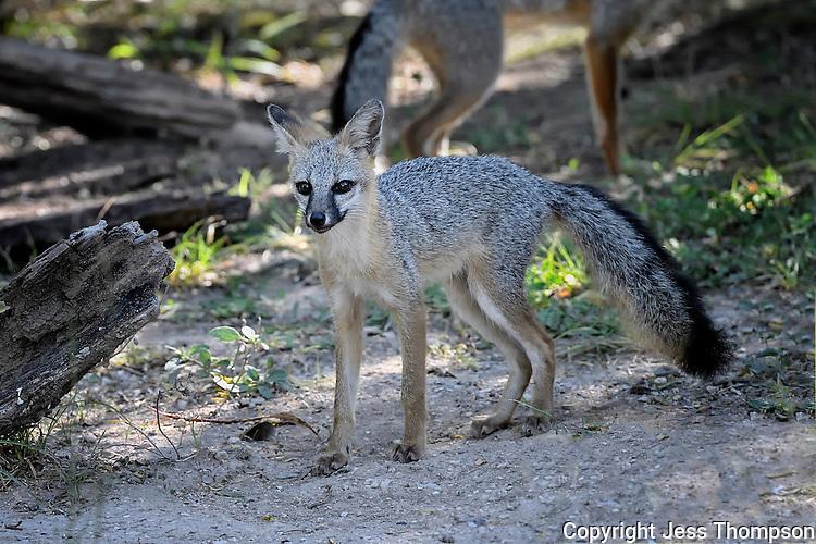 Juvenile Gray Fox, South Llano River State Park, Texas