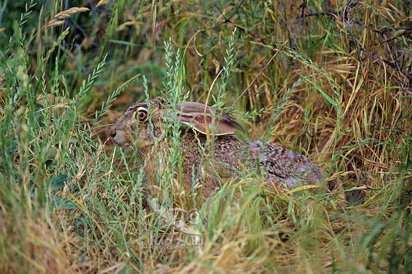 Black-tailed Jackrabbit (Lepus californicus).   Western U.S., Fall.