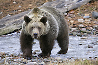 Grizzly Bear walking across a small frozen pond - CA