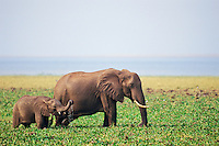 African elephant--cow with calf--feeding along shore of Lake Kariba, Africa.