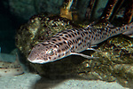 Coral Catshark swimming 45 degrees to camera