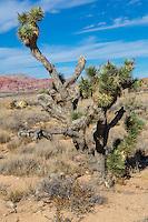 Red Rock Canyon, Nevada.  Joshua Tree (Yucca Brevifolia).