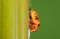 Multicolored Asian lady beetle (Harmonia axyridis), pupa on plant stem, New Braunfels, Hill Country, Central Texas, USA