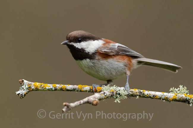 Chestnut-backed Chickadee (Poecile rufescens). Multnomah County, Oregon. March.