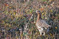 Willow ptarmigan stands in the autumn tundra in Denali National Park, Interior, Alaska.