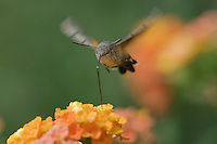 Hummingbird Hawk-moth, Macroglossum stellatarum, adult in flight drinking from lantana, Oberaegeri, Switzerland, August 2006