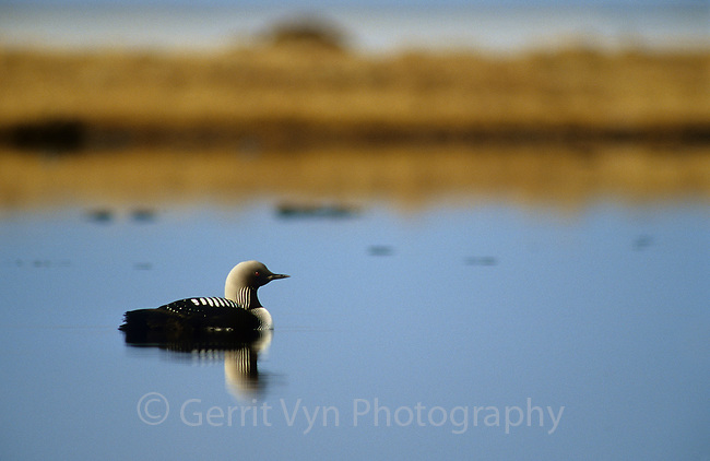 Pacific Loon (Gavia pacifica) on a tundra pond. Colville River Delta, Alaska. June.