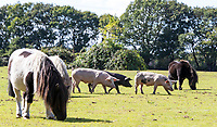 BNPS.co.uk (01202) 558833. <br /> Pic: CorinMesser/BNPS<br /> <br /> Pictured: Pigs search out acorns at Pilley Green in the New Forest. <br /> <br /> Hundreds of pigs have been let loose in the ancient New Forest national park to gobble up fallen acorns which are poisonous to other animals.<br /> <br /> The quirky tradition involves swine roaming the Hampshire woodland to clear it of the fruit which can be fatal to the famous ponies and cattle.<br /> <br /> They will spend 60 days rummaging around the 70,000 acre forest before being rounded up in November.