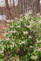 Pieris floribunda in spring shrub flower bloom, native American plant with toxic white flowers, deer-proof plant for the garden landscape